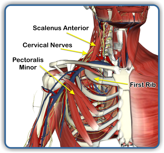 The Chest as well What Is Thoracic Outlet Syndrome as well Organs In The Integumentary System Chapter 6 Skin And The Integumentary System Mr Hamanns likewise Fin besides Human Brain 8. on anatomy of thoracic cavity